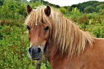 Ponystute (Haflinger-Shetland-Mischung) by assy