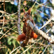 Rotes Eichhörnchen im Wald by kattobello