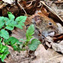 Maus von kattobello