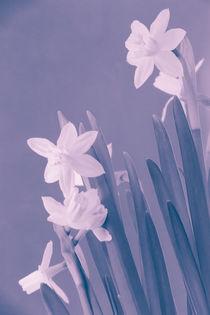 Narcissus von oliverp-art