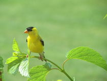 Yellow Bird Friend von susanbecruising