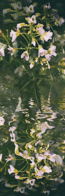 Aus der Kräuterecke -  Brunnenkresse by Chris Berger