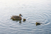 Family of Ducks von Vincent J. Newman