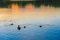 Family of Ducks at Sunset von Vincent J. Newman