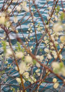 Blooming willow von Andrei Grigorev