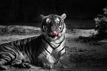 tiger, black and white von hottehue