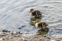 Cute Baby Ducklings by Vincent J. Newman