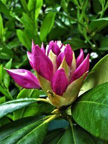 Rhododendronknospe blüht allmählich auf von assy
