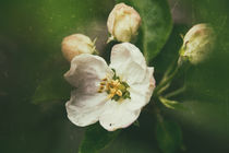 From the orchard - Apple blossom von Chris Berger