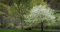 tree in bloom von Tim Seward