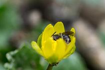 Eine Wildbiene genießt die Zeit in einer gelber Blüte von Ronald Nickel