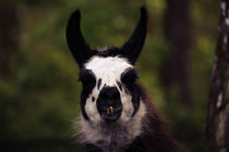Llama by hottehue