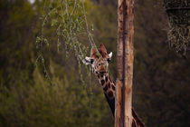 Giraffe, in camouflage by hottehue
