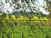 es ist Mai ! Blick durch Birken auf Rapsfelder by assy