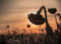 Sunflower by Martin Langer