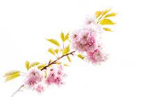 Pink Blossom by Jeremy Sage