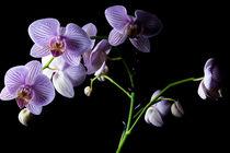 Orchideen von Christian Braun
