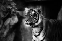 sebirian tiger, tiger black and white by hottehue