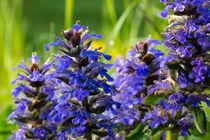 Die blauen Blüten des Günsel by Ronald Nickel