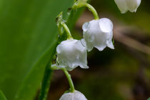 Regentropfen auf den Blüten des Maiglöckchen by Ronald Nickel