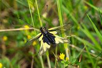 Eine Libellen-Schmetterlingshaft am Grashalm von Ronald Nickel
