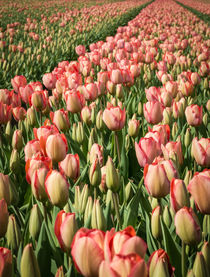 tulips 3 von Erik Mugira