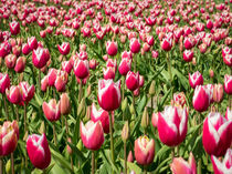 tulips 4 by Erik Mugira