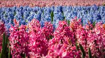 hyacinths 3 von Erik Mugira