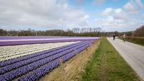 hyacinths 4
