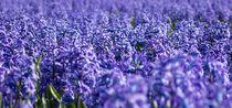 hyacinths 6 by Erik Mugira