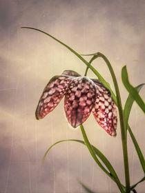 Schachbrettblume by blende007