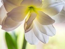 Weisse Amaryllis by blende007