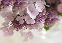 Hortensien  by blende007