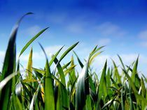 Junger Mais. by Zarahzeta ®