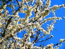 Kirschblüte by Zarahzeta ®