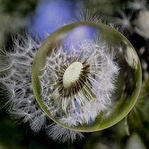 seminal vesicle - Dandelion by Chris Berger