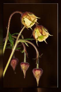 At night at the brook - geum rivale by Chris Berger