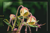 Growing at the creek - geum rivale by Chris Berger