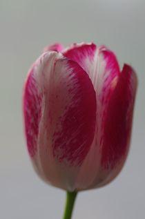 Tulpe rot/weiss von atelier-kristen