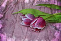 Rosa Tulpen by Claudia Evans
