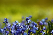 Blue snowdrops by zlange
