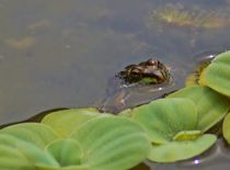Frosch beobachtet von art-dellas