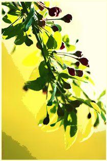 Zarte Kirschblüten von Sandra  Vollmann