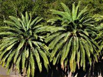 Palmen von assy