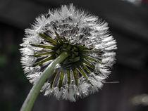Sparkling drops - Dandelion at the rain von Chris Berger