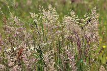 blühende Gräser von assy