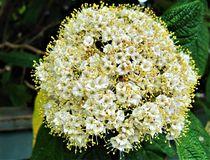 Blüte des Hartriegels von assy