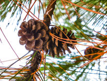 Pine Cone on a Pine Tree by lanjee chee