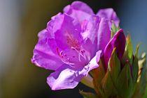 Rhododendron... 1 by loewenherz-artwork
