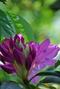 Rhododendron... 21 von loewenherz-artwork